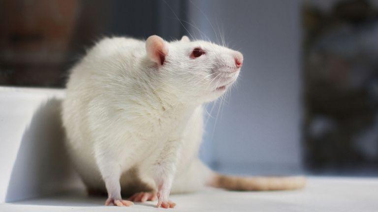 A korábban béna patkányok ismét futottak-szaladtak