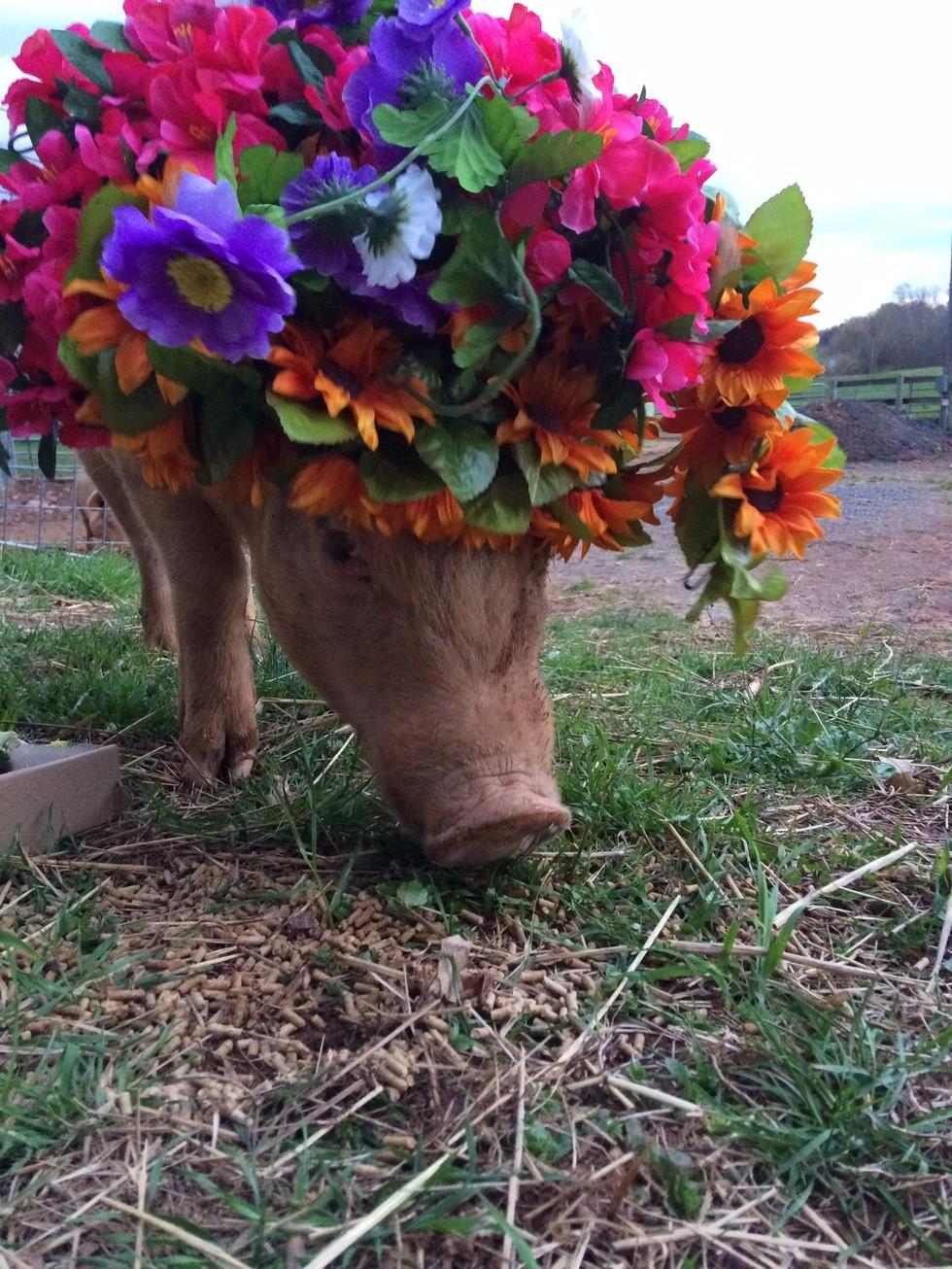 Virágkoszorúkat kaptak a gazdára váró malacok