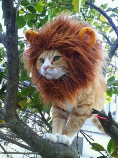 Hatalmas oroszlánok, akik kiscicaként cukiskodnak - tündéri fotók