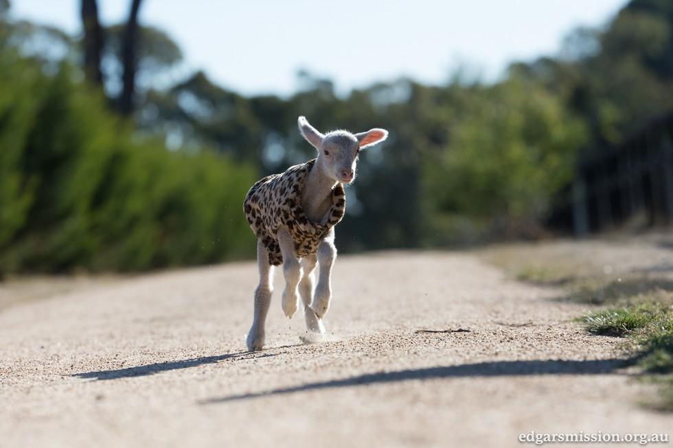 Napi cuki: leopárdmintás dzsekit kapott a megmentett bárány