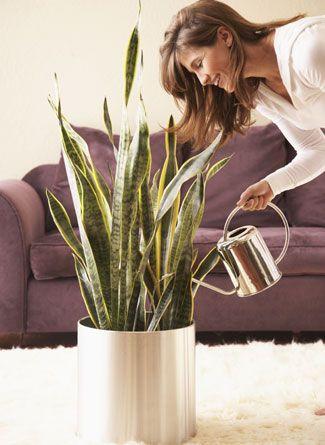 A kedvenc top 10 szobanövények közé tartozik az anyósnyelv.