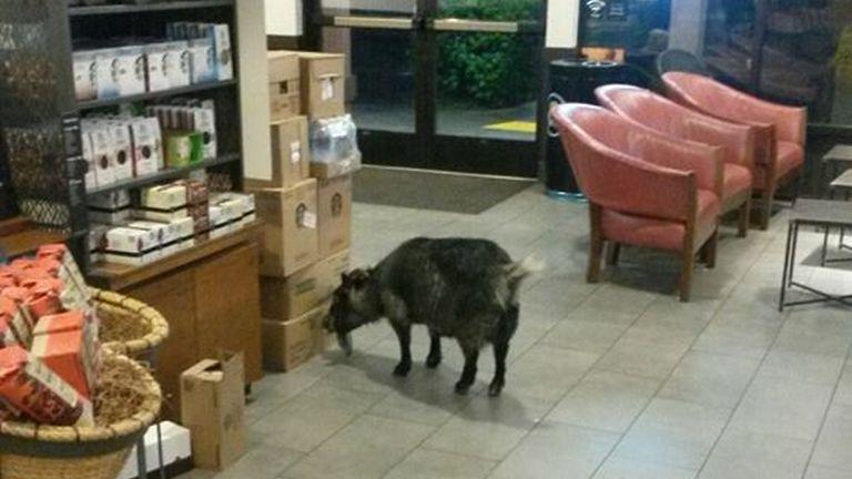 Beugrott egy kecske a Starbucksba