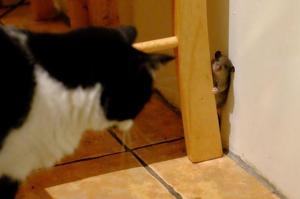 Bolondot csinált az egér a macskából - fotón az élő Tom és Jerry