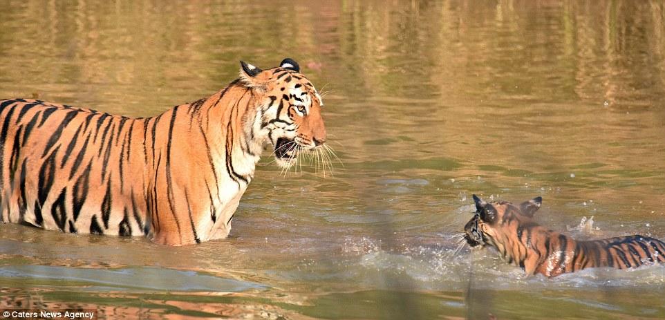Így fürdeti kölykét a tigrismama - elképesztő fotók