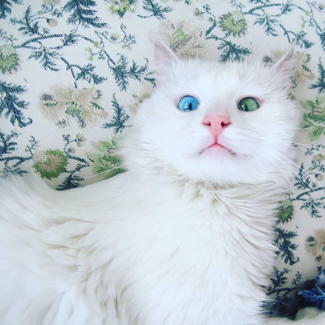 Felemás szemszínű macskáért van oda az internet - fotók