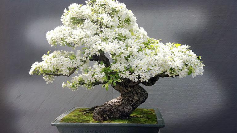 Ezek a legszebb bonsai fák