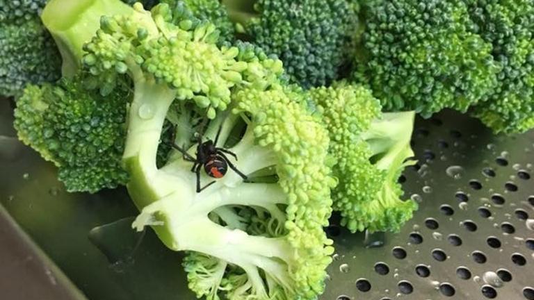 Mérgespókot talált a brokkoliban az ausztrál nő