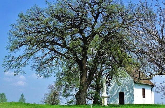 A bátaszéki molyhos tölgy lett az év európai fája