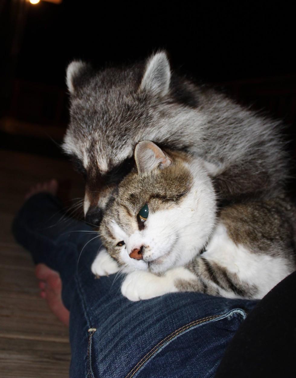 Macskája segítségével mentette meg az árva mosómedvét - képek