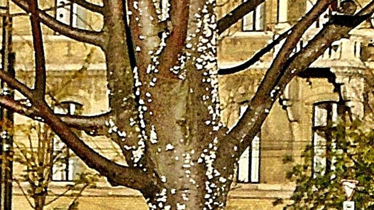 Gombás fa - Fotó: agroinform.com