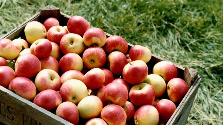 Pórul jártak a magyar almatermelők