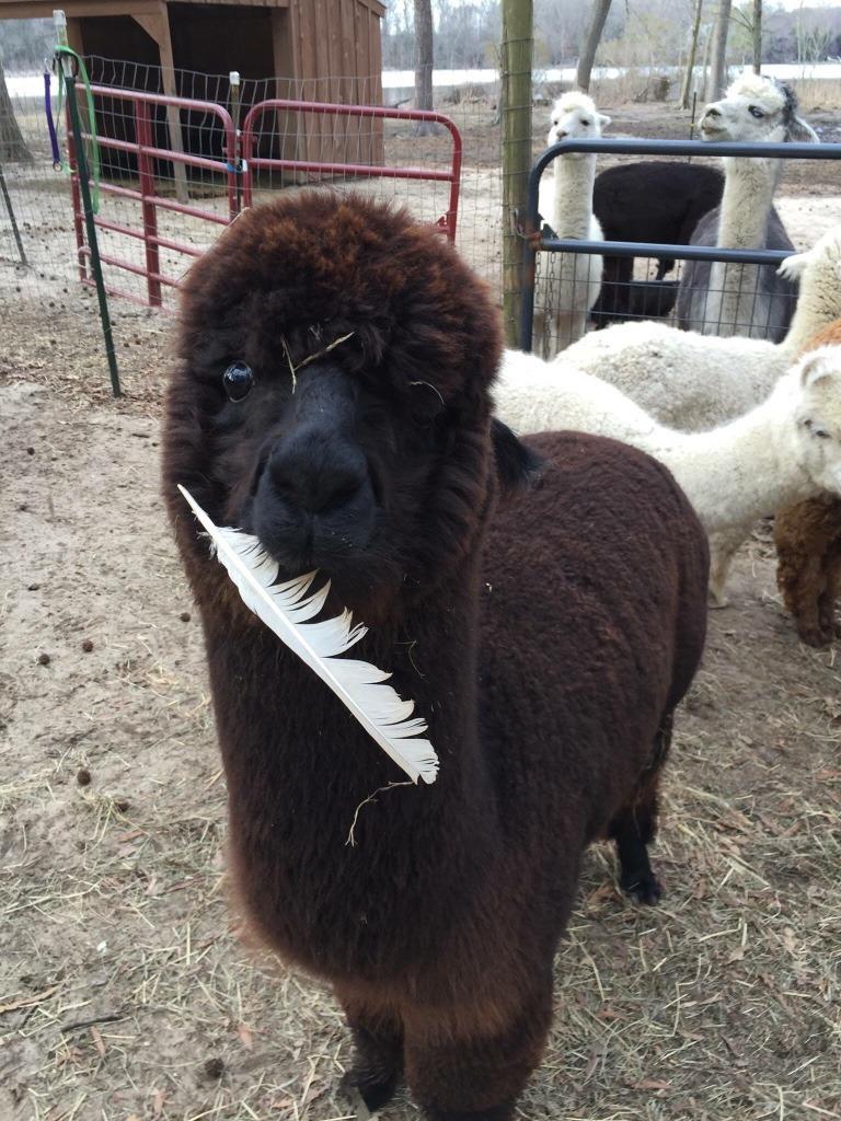 Megvolt az alpakabébi első hajvágása - az eredményen mosolyogni fogsz!