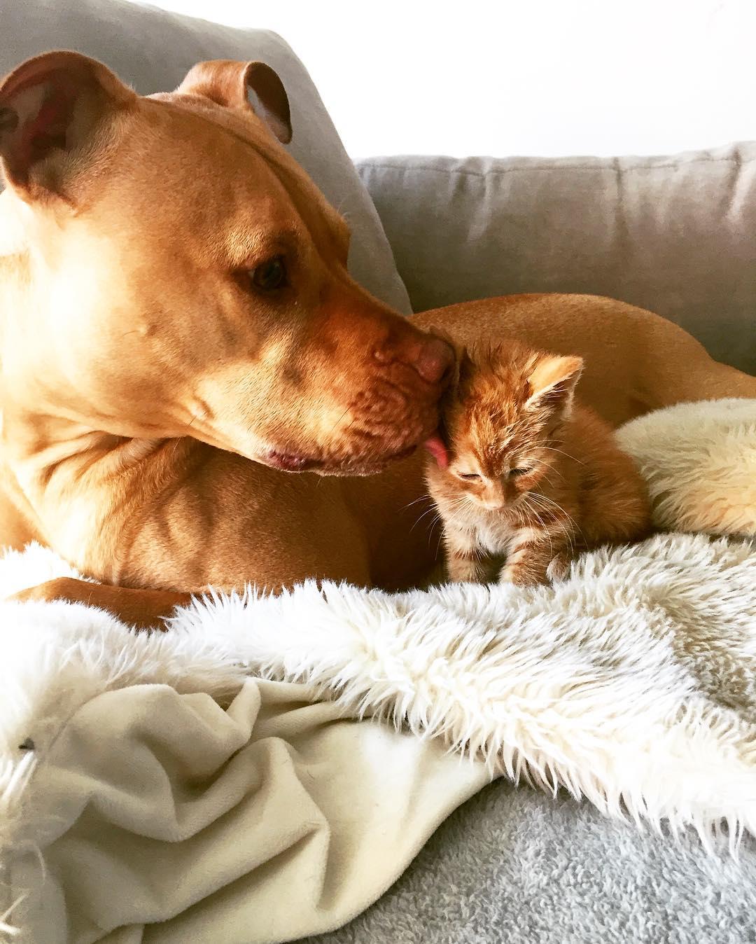 Kölykeként neveli a kiscicát a mentett pitbull