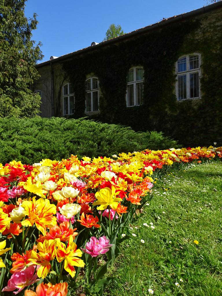 Mesébe illő képek - tulipánvirágzás a Vácrátóti Arborétumban