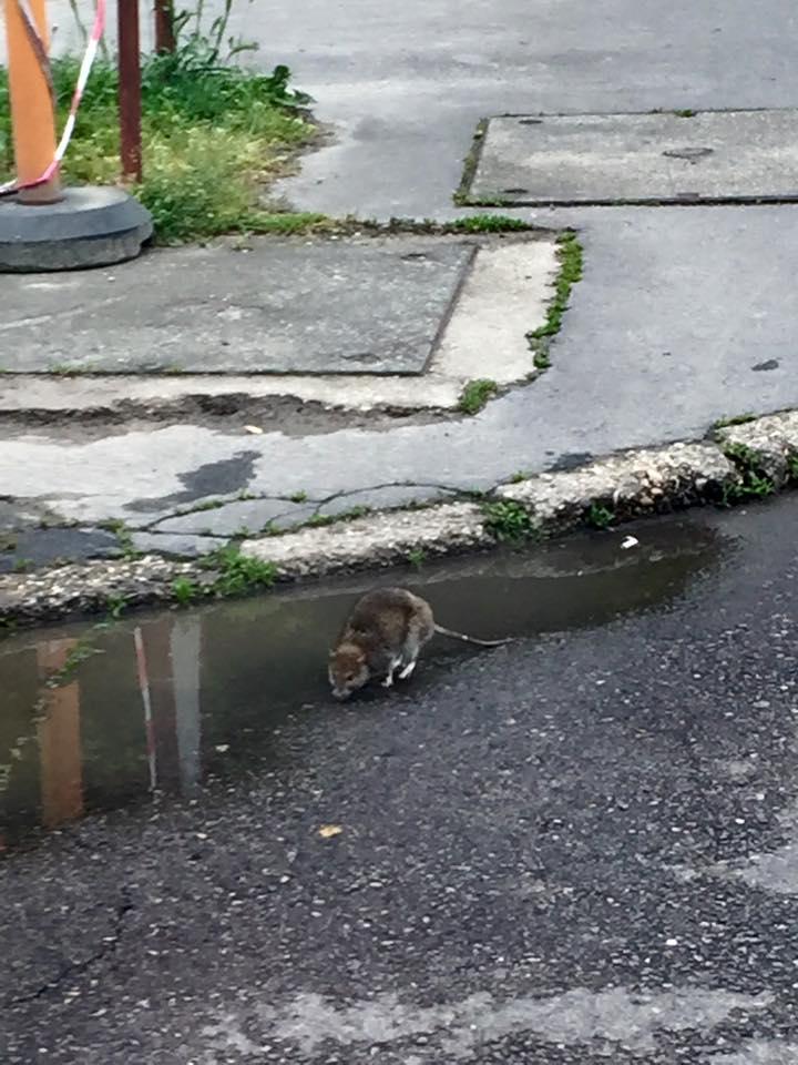 Patkány rohangál Budapest utcáin - fotó