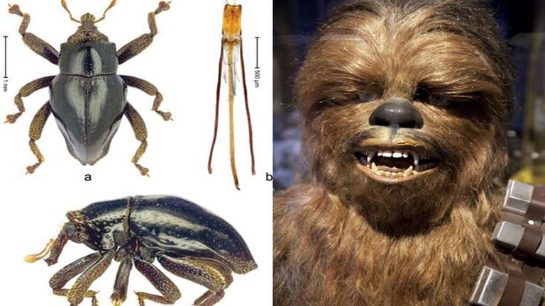 Csubakka után nevezte el az új fajt a Star Wars rajongó tudós