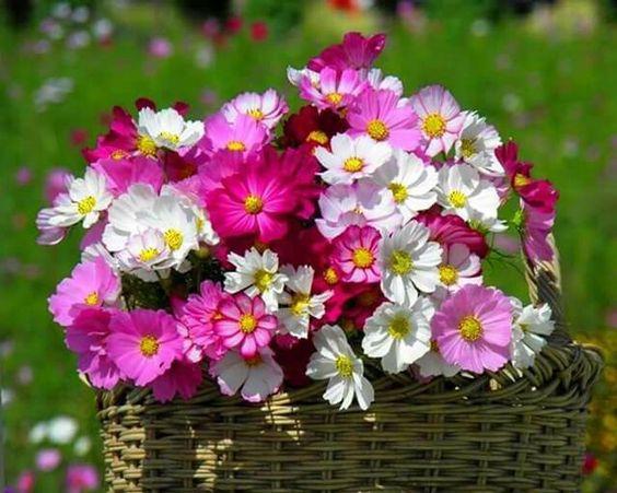 Csodálatos színekben pompázó pillangóvirág.