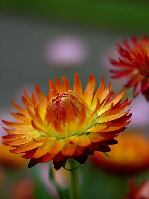 Az egynyári virágok nem hiányozhatnak parkokból és a kertünkből sem.