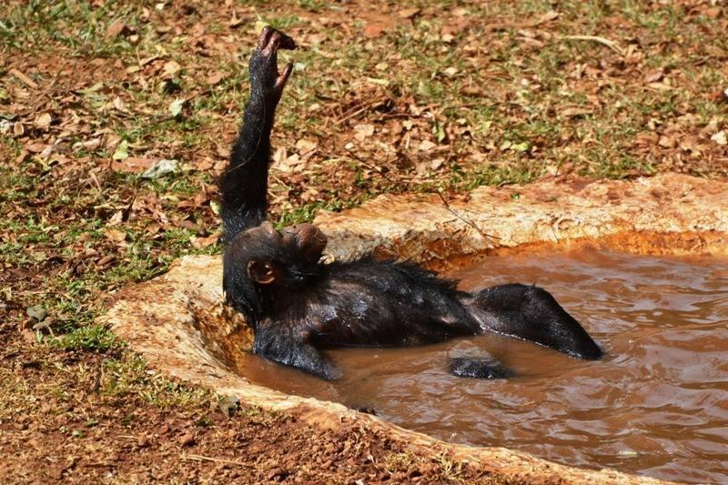 Medencés bulit csapott a pocsolyában a két csimpánz - fotók