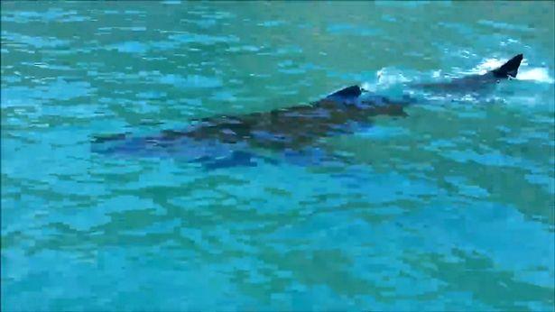 A turisták azt hitték, egy delfint mentenek meg - valójában egy cápa volt