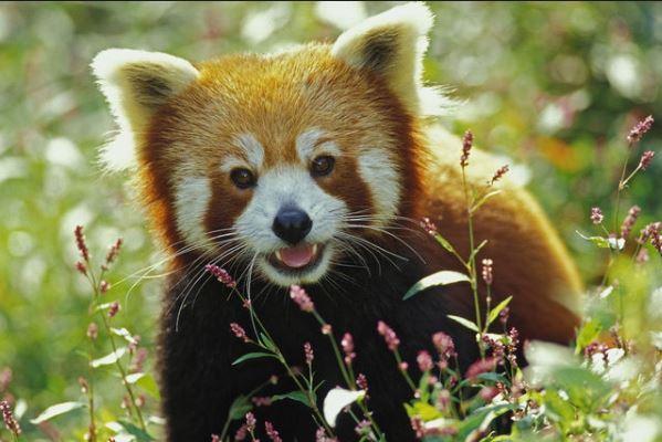 Vörös panda feje lett Király Lindának