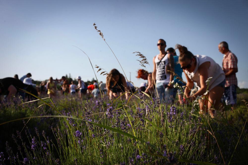 Elkezdődött a Levendulafesztivál Tihanyban - szüreteltünk az Öreg-Levendulásban