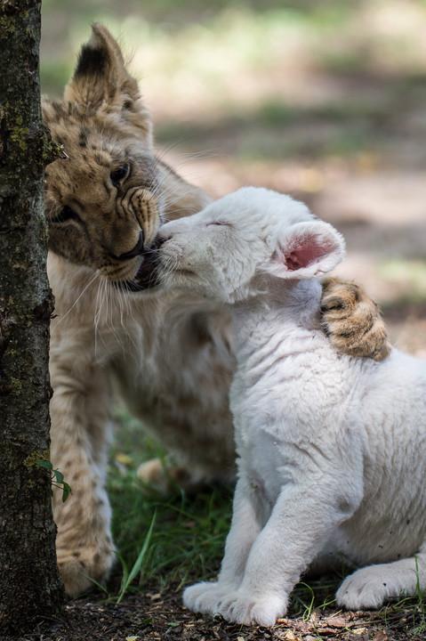 Ezeknél az oroszlánkölyköknél ma már nem lesz cukibb