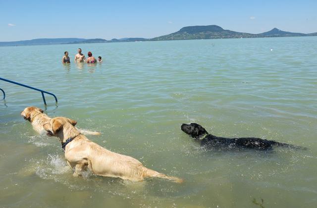 Így pancsolnak a kutyák a fonyódi kutyastrandon - képek