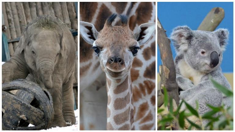 Asha, Sisi és Nur-Nuru-Bin a budapesti állatkert legnépszerűbb lakói - őket is megnézheted éjszaka