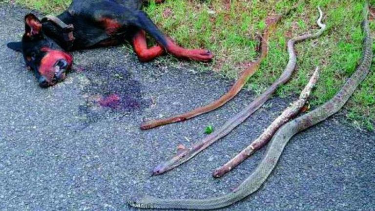 Meghalt a hős kutya, miután megmentette családját négy kobrától