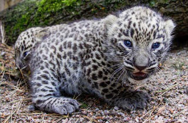 Elszabadult egy leopárdbébi az állatkertben