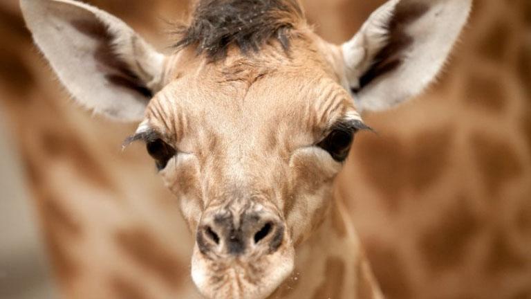 Kitörte a nyakát a belga állatkert kis zsiráfja