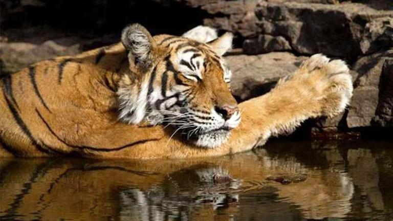 Gyászol India, meghalt a világrekorder tigris