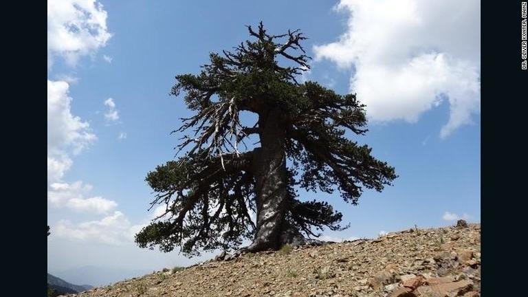 Megtalálták Európa legöregebb fáját - nem hiszed el, hány éves!