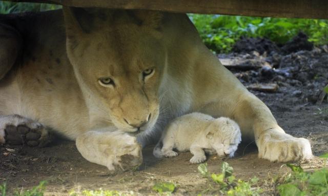 Fehér oroszlán született a Nyíregyházi Állatparkban - fotó