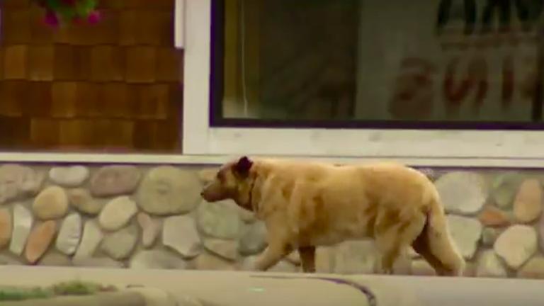 Ez a kutya azért poroszkál a városban, hogy mindenkit üdvözöljön
