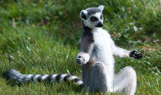 A jógázó állatoktól te is kedvet kapsz a testmozgáshoz