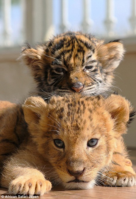 Tündéri fotók: összebarátkoztak az ororszlán -és tigriskölykök