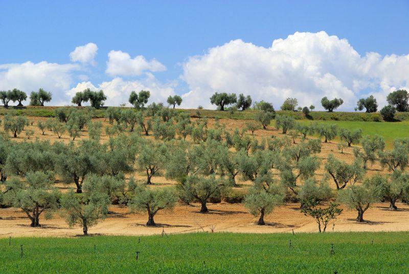 Olívaolaj, a Bibliától a nagy hamisítókig