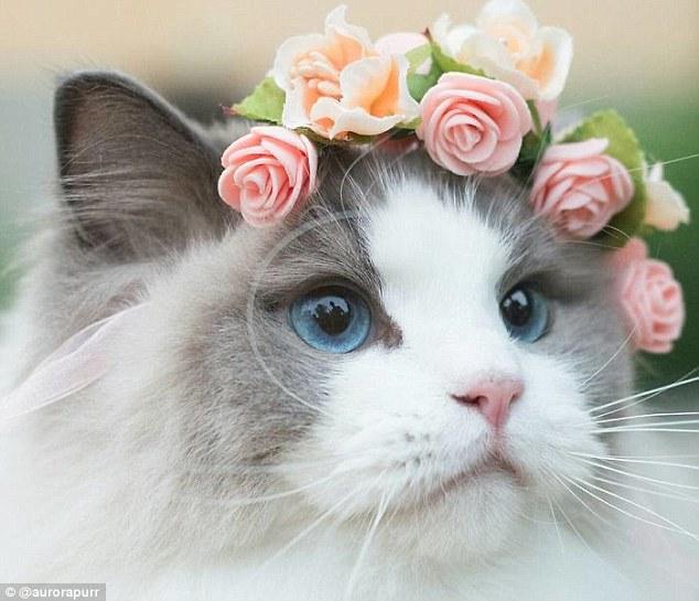 Csipkerózsika, a macska nem csak gyönyörű, de elég népszerű is