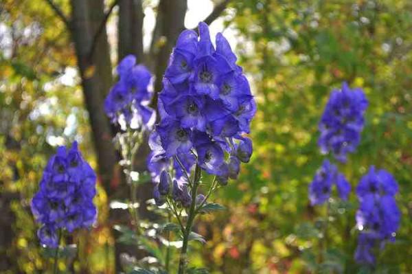 7 színpompás őszi virág a kertbe