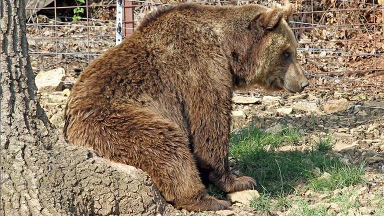 Vackor, a Budakeszi Vadaspark néhai barnamedvéje egy farönkön ül