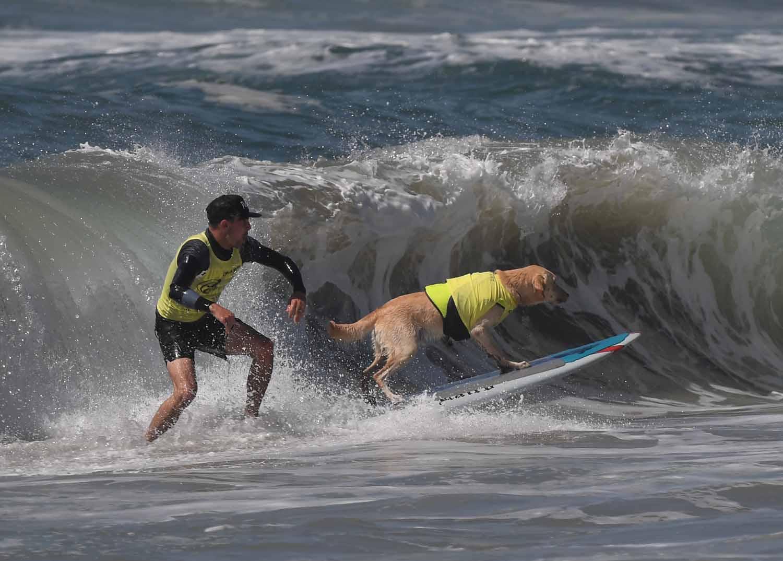 Hullámlovas négylábúak: így szörföznek a kutyák