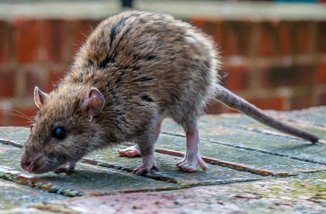 Patkányoktól rettegnek Makón