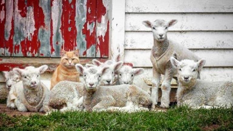 Bárányokból verbuvált magának bandát a macska
