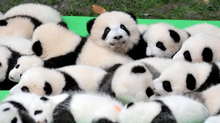 Végre péntek, ünnepelj egy rakás zabálnivaló pandabébivel!