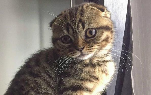 Napi cuki: itt a skót lógófülű macska, és tudjuk, hogy imádni fogod