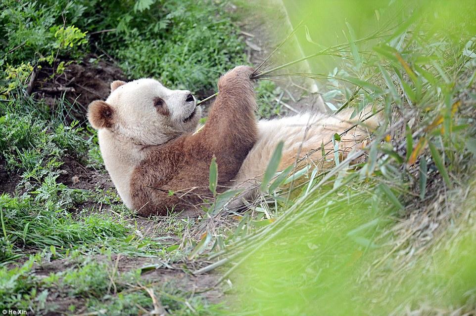 Ő itt a világ egyetlen barna pandája!