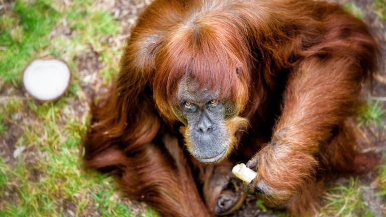 """""""Kismajom, te még kósza gondolat nem voltál, amikor én már banánt hámoztam"""" (Fotó: Perth Zoo)"""