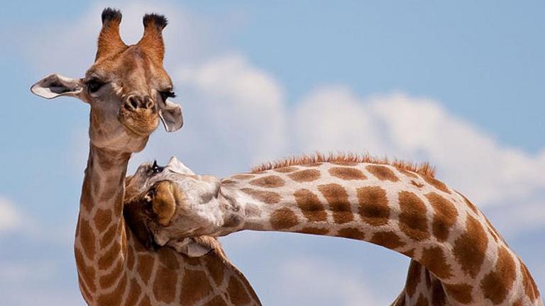 Az orvvadászok a zsiráfok farkából karkötőt készítenek (Fotó: Tumblr)